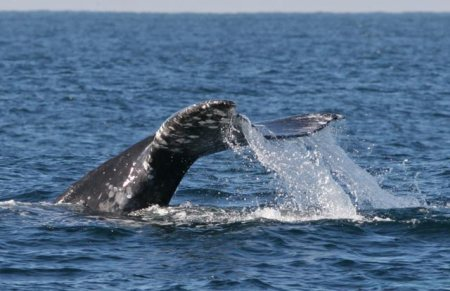 The grey whale makes one of the longest annual migrations of any mammal, traveling nearly 5,000 miles from its northern feeding grounds to warmer winter calving grounds. Photo: Julian Pye